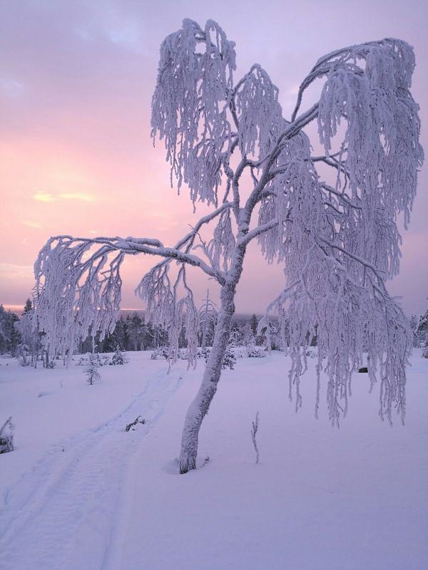 The winter frost turns the trees