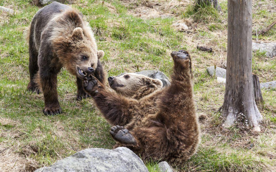 Brown Bears - Ranua trip