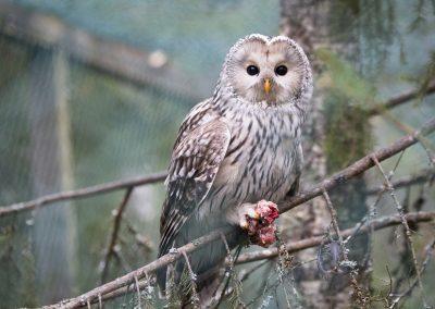 an Owl eating dinner!
