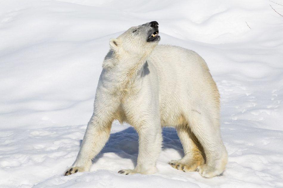 Polar Bear - Ranua trip!