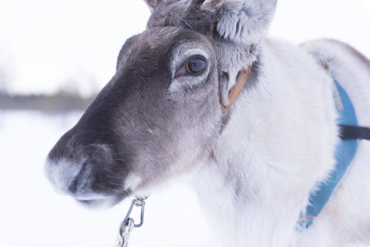 Reindeer Safari Sleigh Ride Rovaniemi