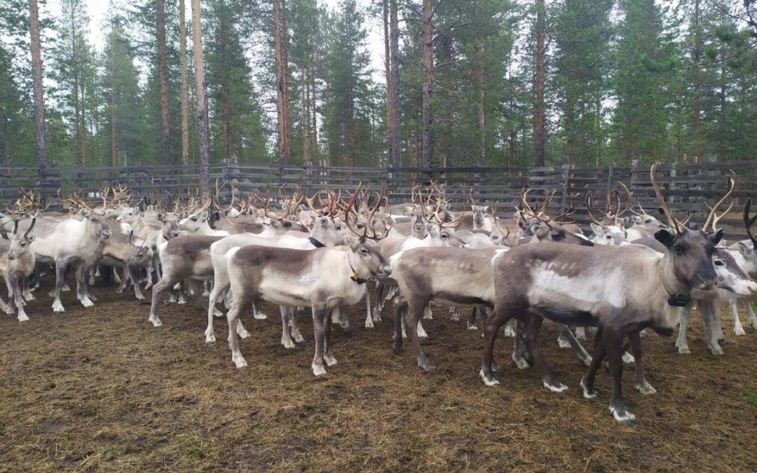 Reindeer Gathering Herders