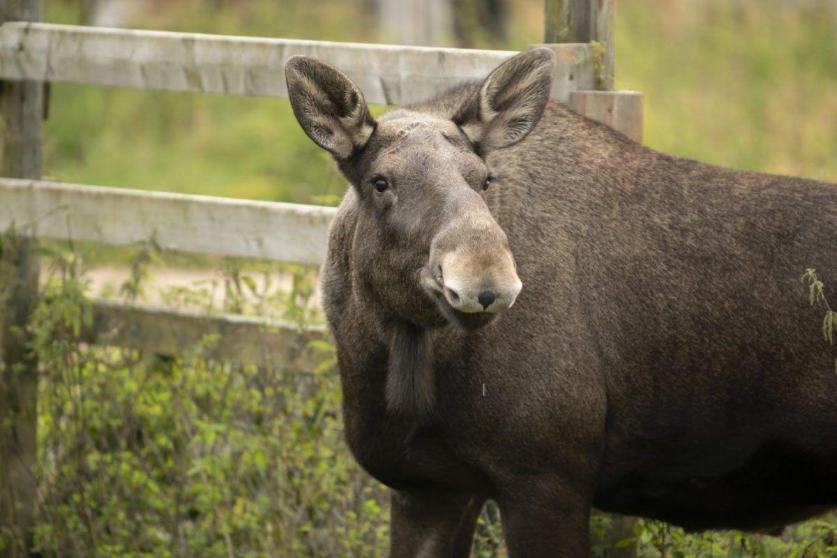 Ranua Reindeer Moose