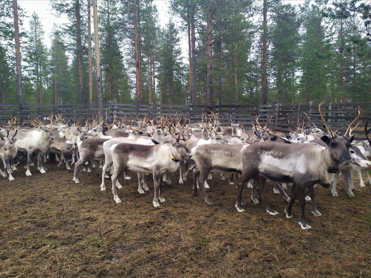 Husky Reindeer Summer