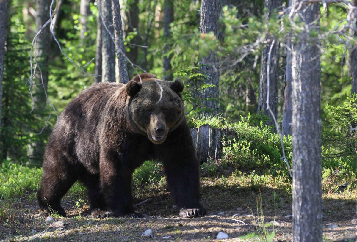 Bear watching safari
